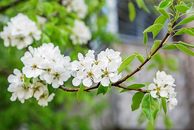 Pear blossom tree - celebrating Tu Bishvat
