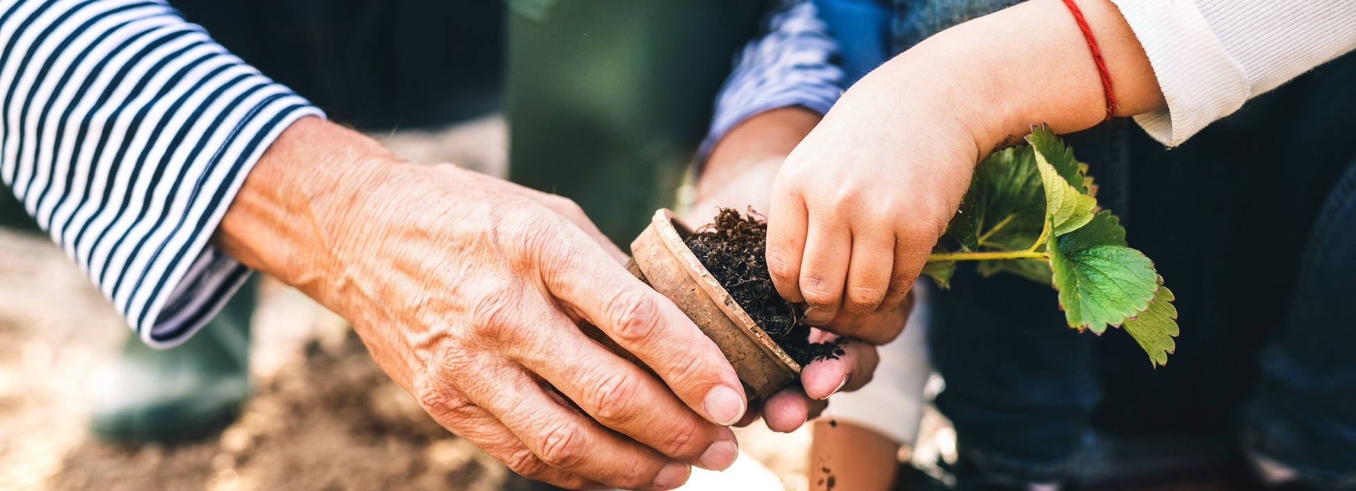 A closeup of an adult and a child set of hands planting.