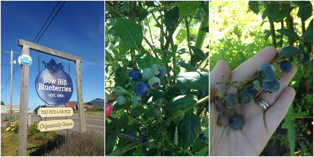 Blueberry farm and blueberries